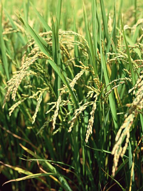 産地直送のお米